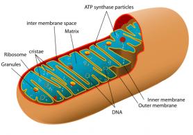 Zijn Mitochondriale ziekten te voorkomen?