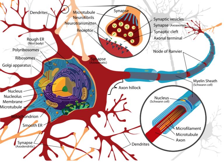 Mechanisme achter ALS mogelijk ontrafeld. Komt de  ontwikkeling van een medicijn dichterbij?